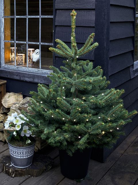 How To Care For Your Potted Christmas Tree Real Christmas Trees In