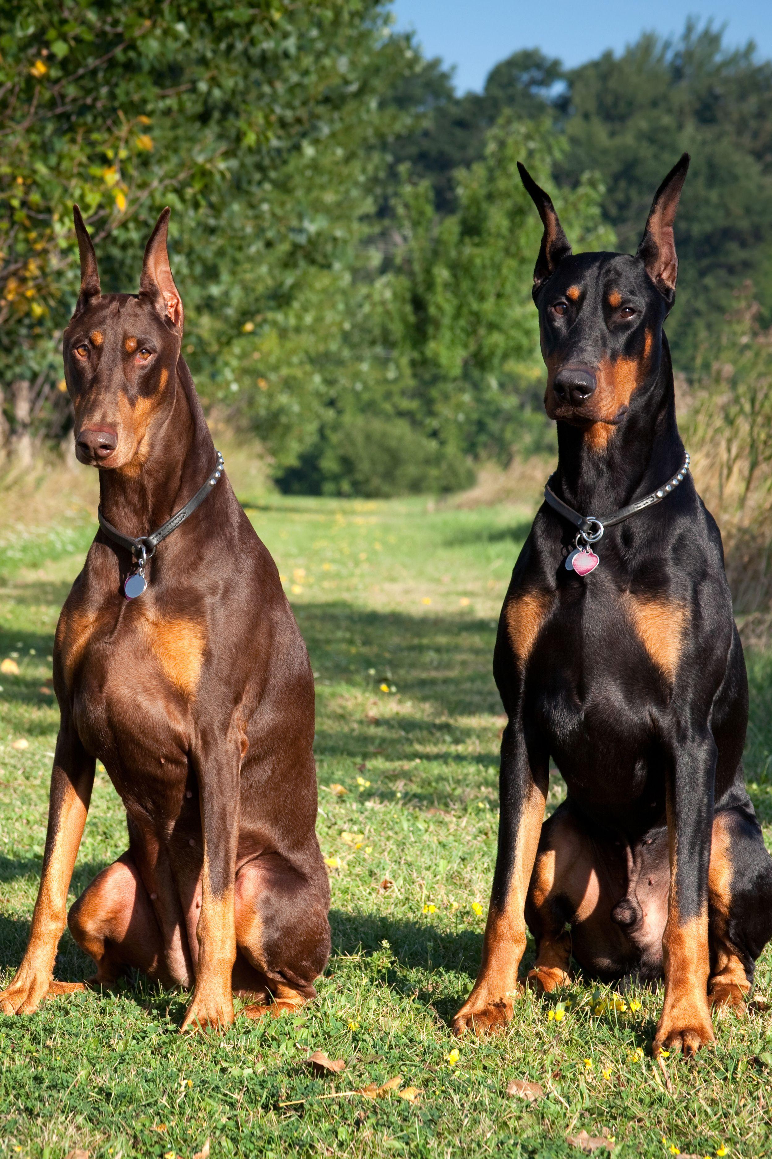 Доберман - лучшая собака для охраны частного дома