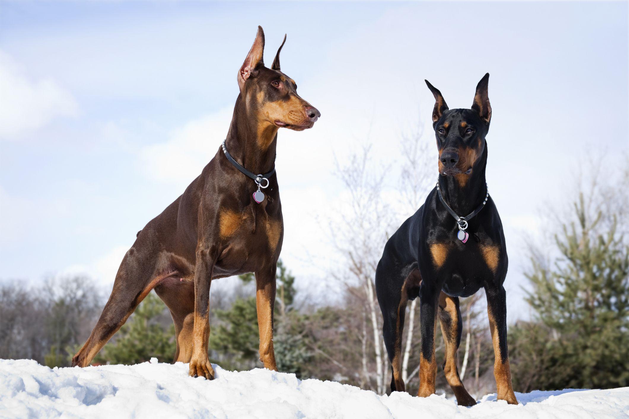 45 Best Large Dog Breeds - Top Big Dogs