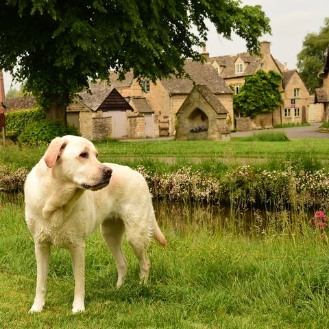 dog cotswolds