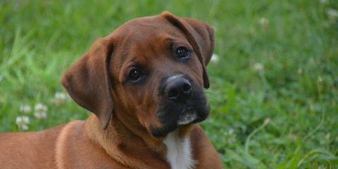 Dog, Mammal, Vertebrate, Dog breed, Canidae, Rhodesian ridgeback, Carnivore, Tosa, Black mouth cur, Broholmer,