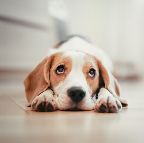 Dog at home lying down on floor