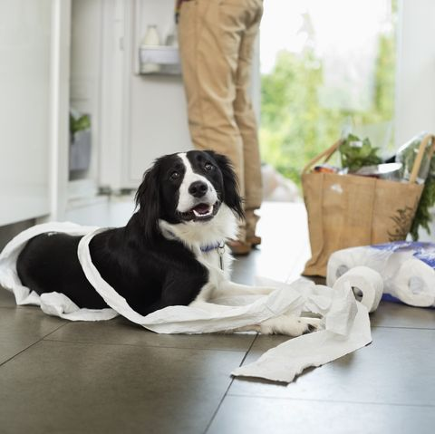 Dog unrolling toilet paper at home