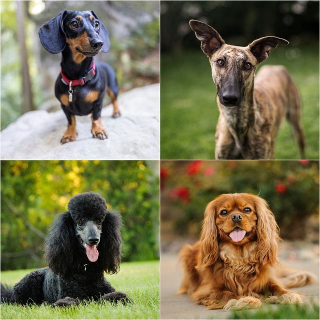 dog breeds that are most likely to be fussy eaters