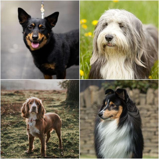 6 versatile dog breeds that make the best all rounder companions