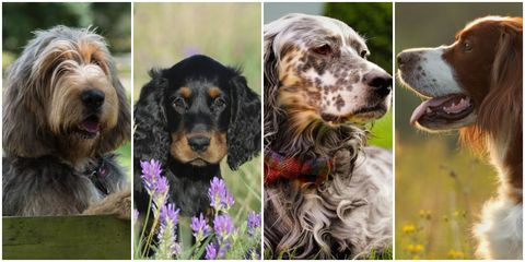 Dog, Vertebrate, Dog breed, Canidae, English setter, Carnivore, Setter, Cocker spaniel, Sporting Group, Picardy spaniel,