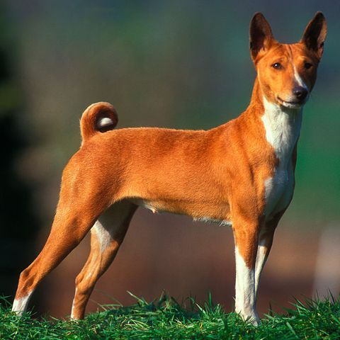 dog-breeds-left-alone-basenji
