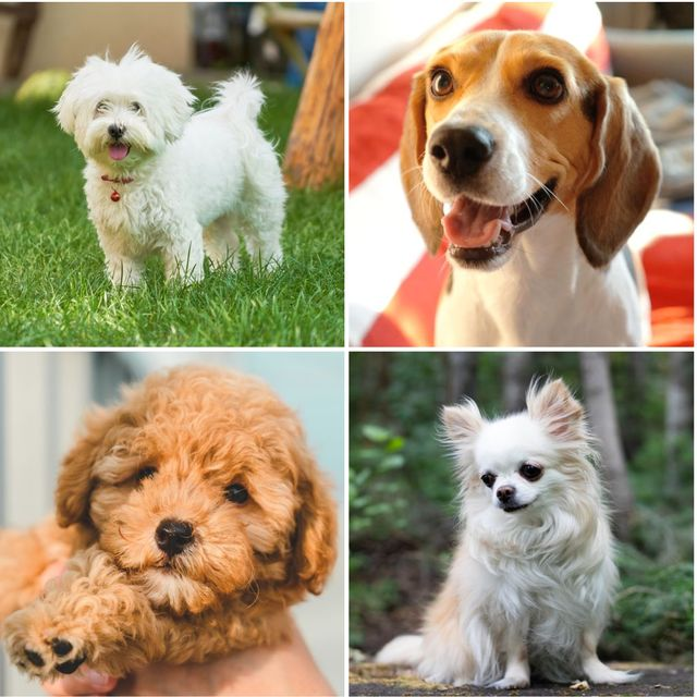 10 dog breeds which live the longest