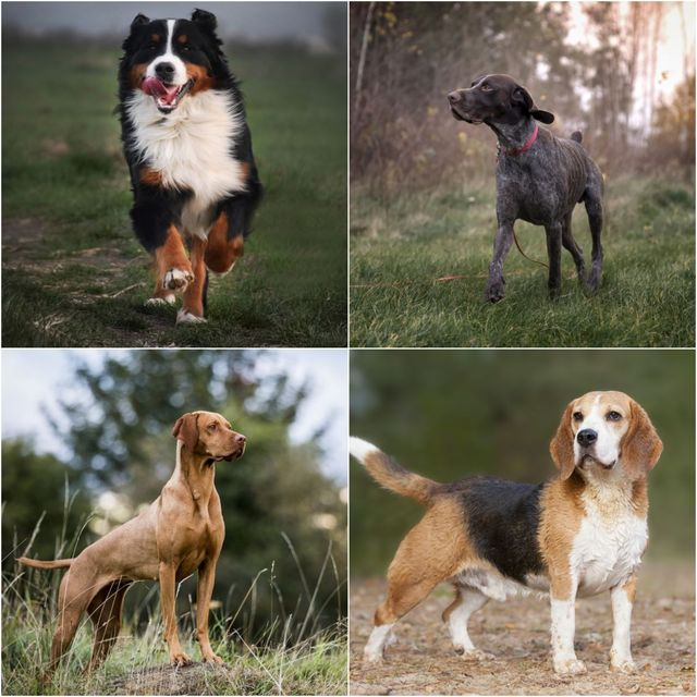 7 best dog breeds for long walks