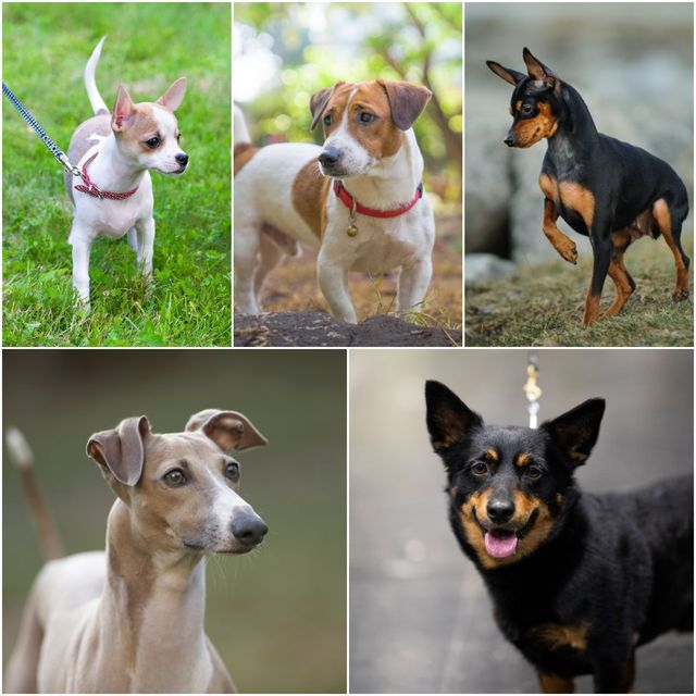 dog breeds that look like puppies forever