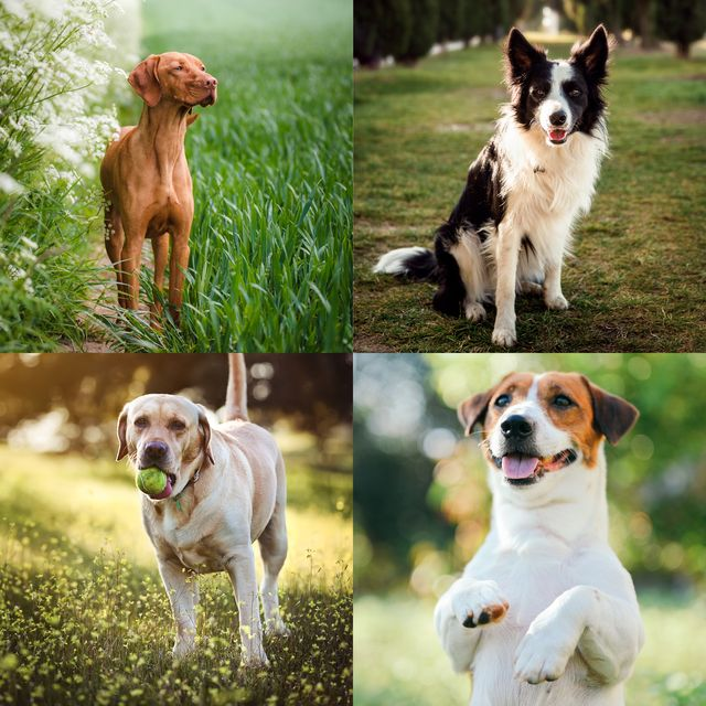 10 dog breeds most likely to suffer with separation anxiety