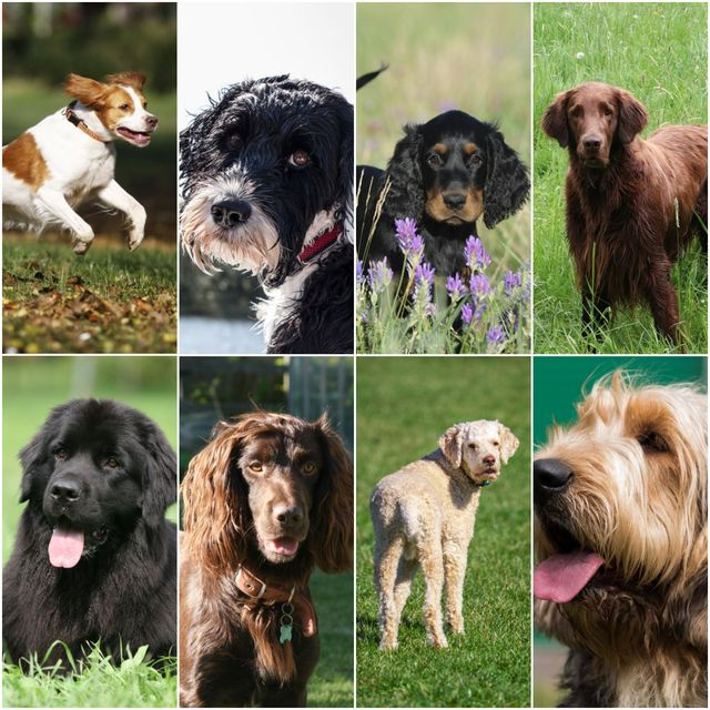 dog breeds that love swimming