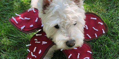 Dog, Mammal, Vertebrate, Canidae, Dog breed, West highland white terrier, Terrier, Carnivore, Small terrier, Puppy,