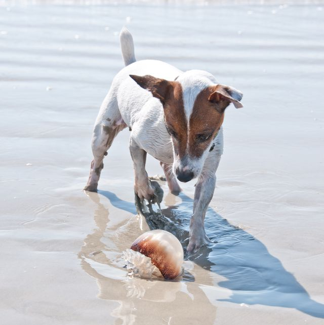 dog found a jellyfish