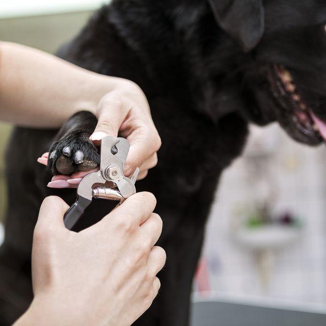 dog groomer cutting nails on black labrador retriever dog