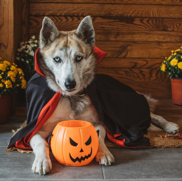 domestic dog on porch dressed in vampire costume for halloween