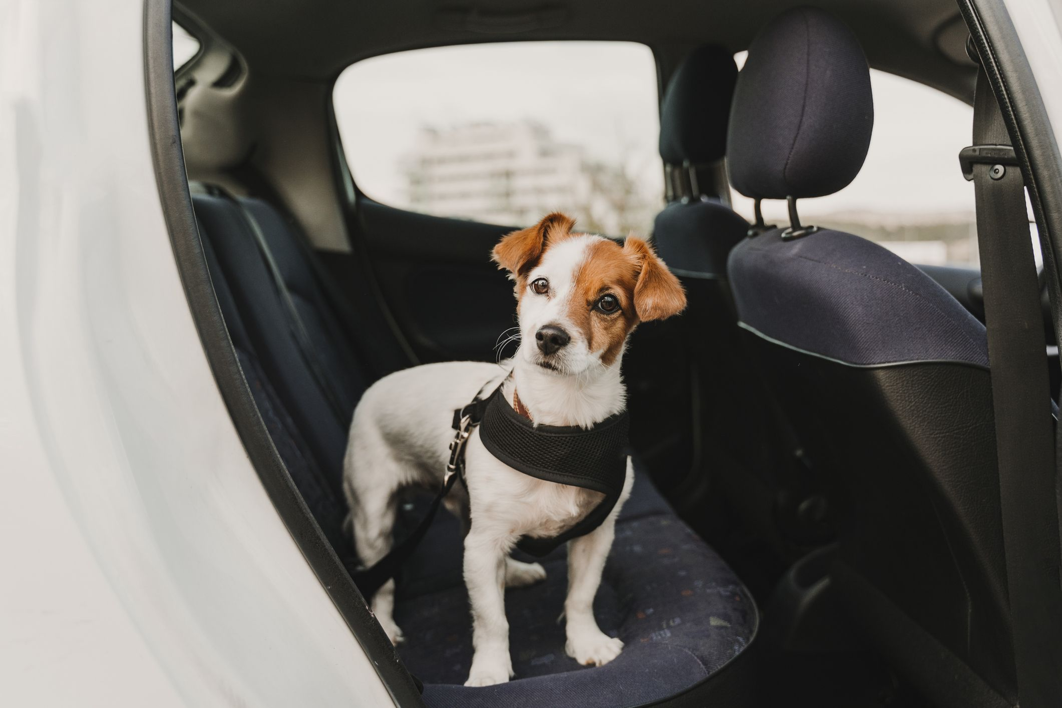 15 Best Dog Car Harnesses For 2021 Shop Now