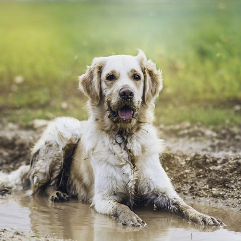 dog in muddy puddle
