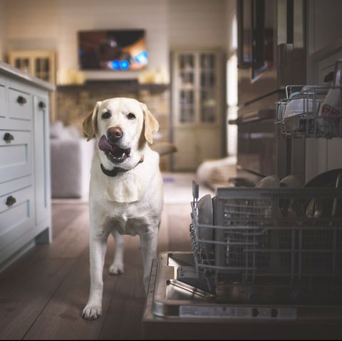 Portrait of Labrador Retriever sticking out tongue while standing on hardwood floor in kitchen
