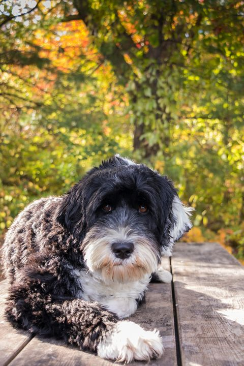 dogs that dont shed portuguese water dog