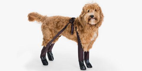 Dog, Mammal, Vertebrate, Dog breed, Canidae, Carnivore, Goldendoodle, Sporting Group, Otterhound, Fur,