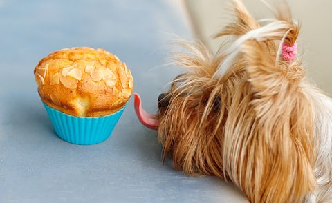 dog licking muffin