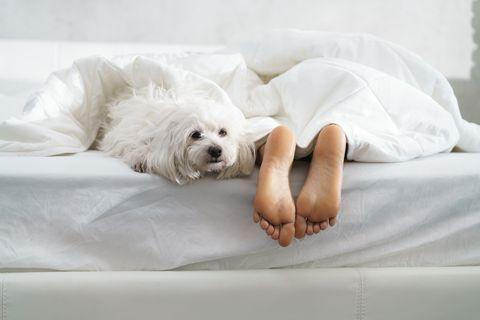 dog lying on bed 睡眠