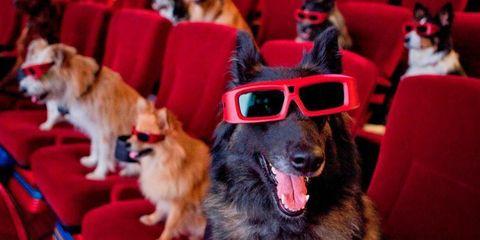 Dog, Vertebrate, Dog breed, Mammal, Canidae, Eyewear, Conformation show, Companion dog, Carnivore, Snout,