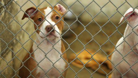 hond in asiel