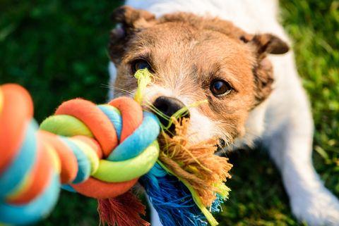 Chien tire la corde de coton jouet coloré à mâcher