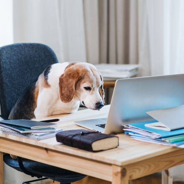 a dog sitting on a chair at a table with laptop in home office