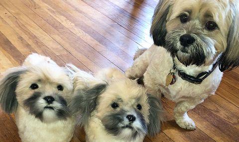 Dog, Mammal, Vertebrate, Dog breed, Canidae, Maltepoo, Shih tzu, Chinese imperial dog, Companion dog, Maltese,