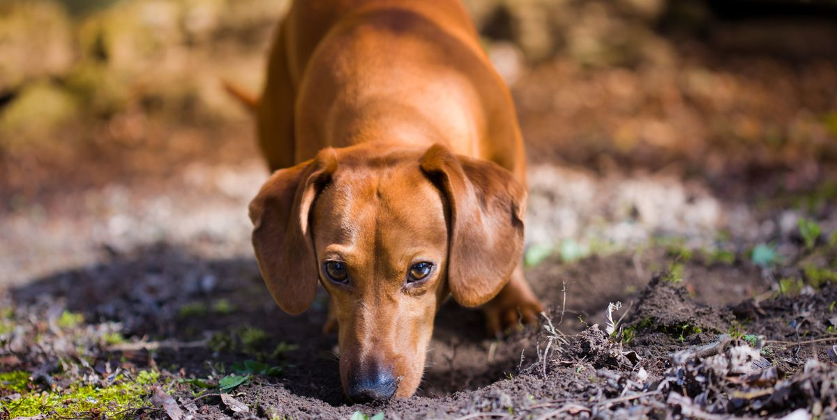 Why do dogs eat poop and how can I get them to stop?
