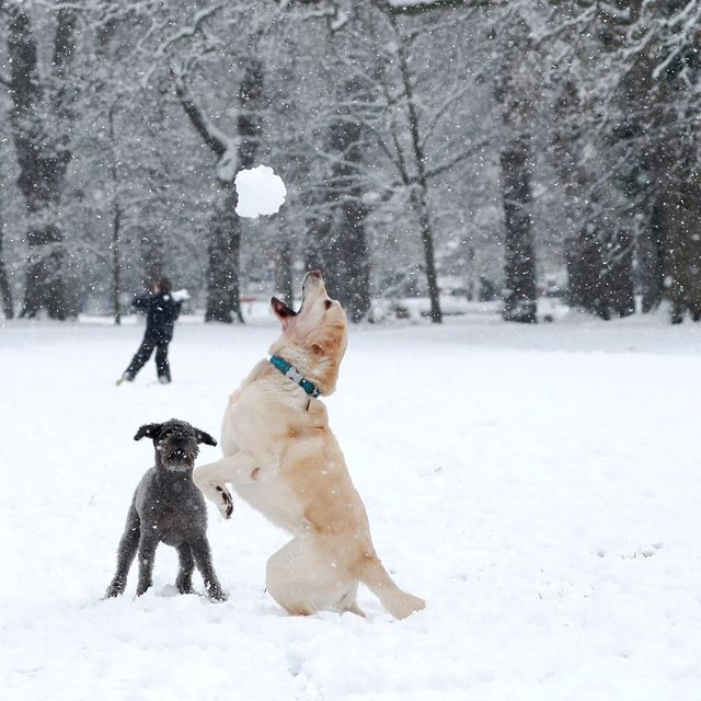 alison lawrence throws a snowball for her dog bluebell to catch on a snow covered common in hartley wintney west of london on january 24, 2021 photo by adrian dennis  afp photo by adrian dennisafp via getty images