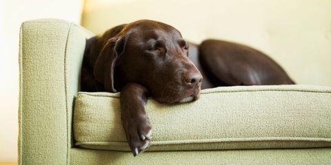 sofa labrador