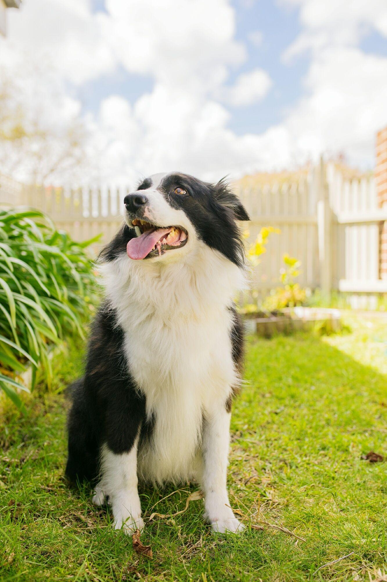 Dog Sticking Out Tongue While Looking Away At Backyard