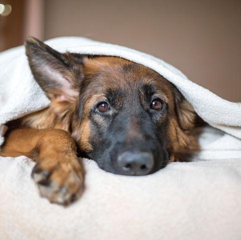 Dog under blanket at home