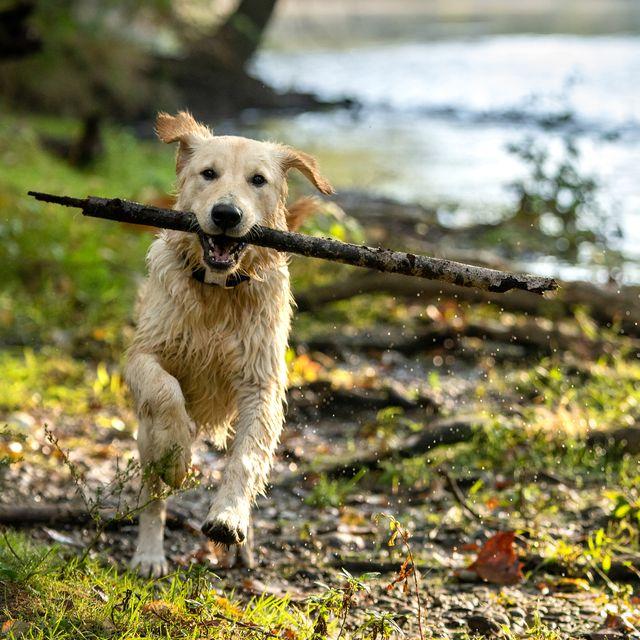 happy golden retriever fetching big stick near river   fall