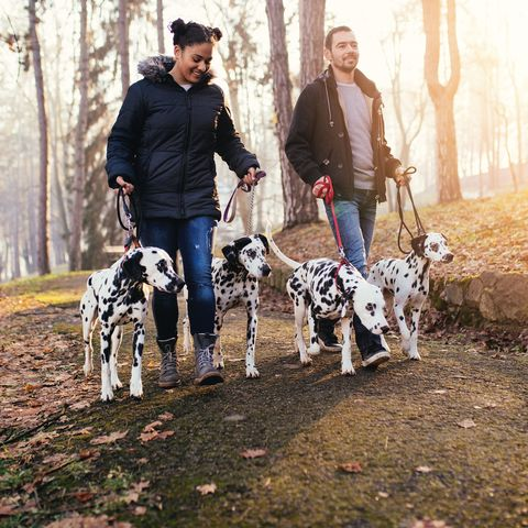 Dog walkers with Dalmatian dogs