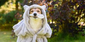 Dog wearing bathrobe after shower holding grooming brush in mouth
