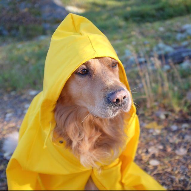 Dog (Golden retriever) wearing yellow oversize humans raincoat.