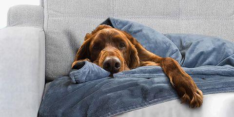 Dog, Canidae, Mammal, Dog breed, Carnivore, Irish setter, Sporting Group, Companion dog, Snout, Spaniel,