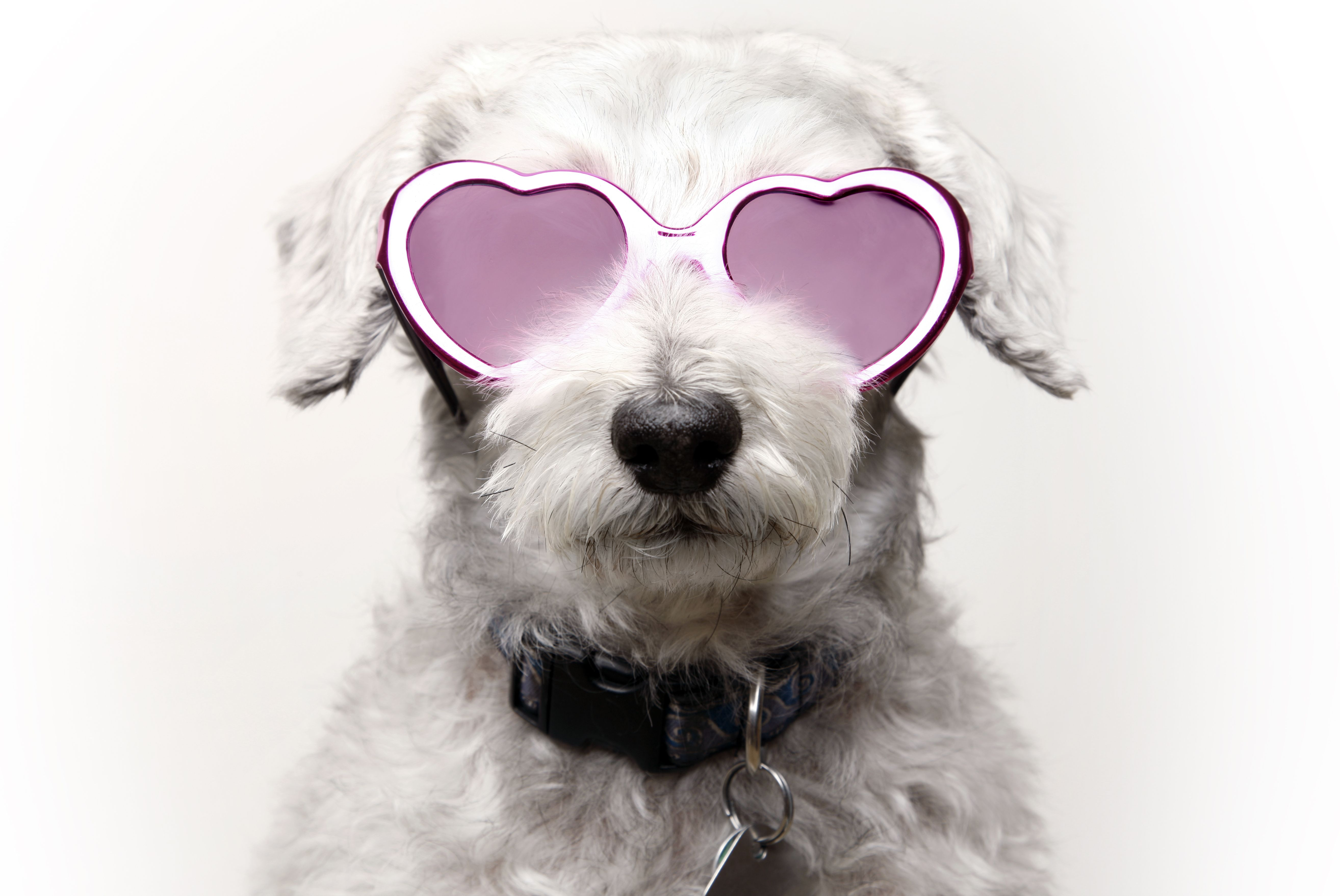 Dog with Rose Colored Glasses