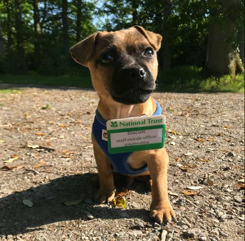 Dog, Mammal, Vertebrate, Dog breed, Canidae, Carnivore, Black mouth cur, Snout, Grass, Fawn,