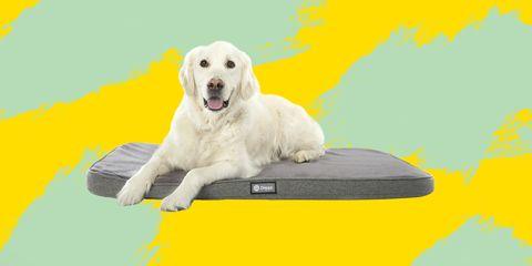 Dog, Mammal, Canidae, Dog breed, Yellow, Retriever, Carnivore, Golden retriever, Sporting Group, Akbash dog,