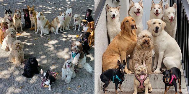 愛犬の写真を撮ろうと思っても、カメラを見てくれなかったり、ブレてしまったりする…というお悩みを抱えている人も多いのでは? ましてや、犬の集合写真なんて撮影するのは至難の業。しかしネット上では、アメリカ・フロリダ州マイアミにある「ウーフパック・アニマルデイケア&トレーニングセンター」の犬の集合写真が話題に!