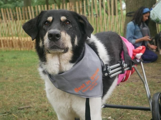 Double amputee dog to run marathon for rescue centre