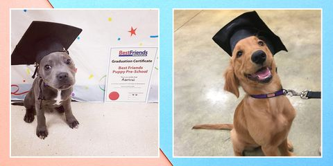 If you're getting ready to graduate, please do enjoy these dogs in grad caps