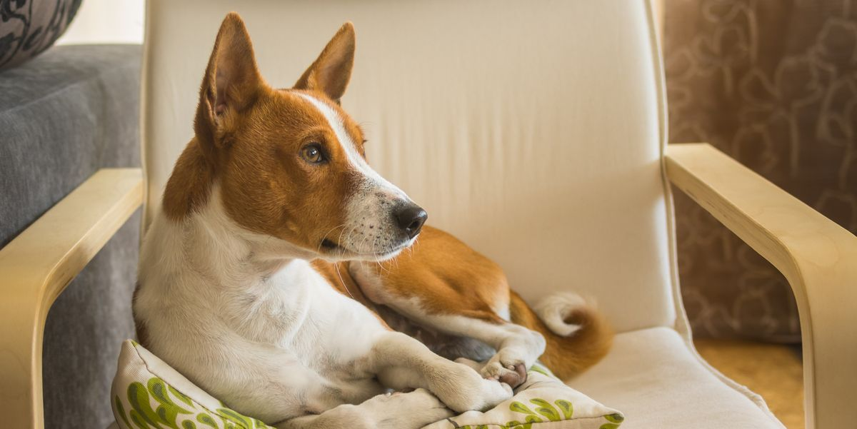 These 7 Dogs Act A Lot Like Cats, Giving You the Best Of Both Worlds