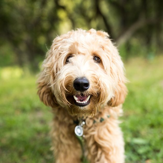 15 Dogs That Dont Shed Hypoallergenic Dog Breeds